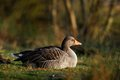 Greylag goose Stock Photo