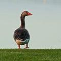The Greylag Goose Anser Anser