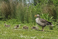 Greylag goose with chicks anser anser adult on grass Royalty Free Stock Photos