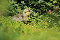 Greylag goose chicks the couple of in the grass Royalty Free Stock Image