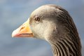 Greylag goose close up at hillsborough lakeside county down united kingdom Royalty Free Stock Images