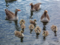 Greylag goose family 1 Stock Photos