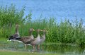 Greylag goose family Royalty Free Stock Photo