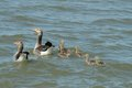 Greylag goose family (Anser anser) Royalty Free Stock Photo