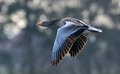 Greylag Goose in flight Royalty Free Stock Photos