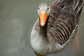 Greylag goose floating calmly on still waters Stock Images