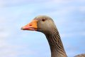 Greylag goose at hillsborough lake county down united kingdom Royalty Free Stock Image