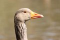 Greylag goose at hillsborough lakeside county down united kingdom Stock Image