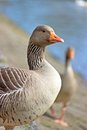 Greylag goose at hillsborough lakeside county down united kingdom Stock Images