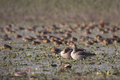 Greylag goose in nepal anser anser Royalty Free Stock Photo