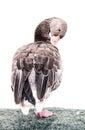 Greylag goose portrait (Anser anser), animal scene, white backgr Royalty Free Stock Photo
