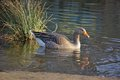 Greylag goose on river bank in golden evening sun Stock Images
