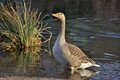Greylag goose on river bank in the golden evening sun Royalty Free Stock Images