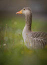 Greylag goose in spring Royalty Free Stock Photo