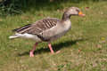 Greylag goose striding across grass Royalty Free Stock Photos
