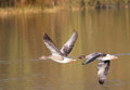Greylag or graylag geese in flight over water a pair of flying together a lake beautiful bronze color on the reflected from the Stock Image