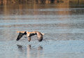 Greylag or graylag geese skimming the water a pair of flying together over a lake in synchronization Stock Images