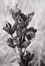 Greyscale Flowers