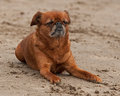 Griffon dog relaxing on the summer beach Stock Image