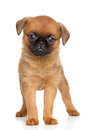 Griffon terrier Stock Images