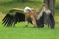Griffon vulture Stock Photos