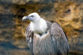 Griffon vulture bird gyps fulvus Royalty Free Stock Photo