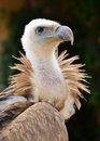 Griffon vulture close up gyps fulvus Stock Images