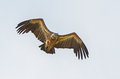 Griffon vulture a flying in eastern rhodope mountains bulgaria Stock Image