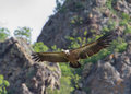 Griffon vulture a flying in eastern rhodope mountains bulgaria Stock Images