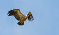 Griffon vulture a flying in eastern rhodope mountains bulgaria Stock Photos
