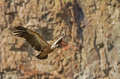 Griffon vulture a flying in eastern rhodope mountains bulgaria Royalty Free Stock Photography