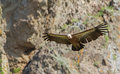 Griffon vulture a flying in eastern rhodope mountains bulgaria Royalty Free Stock Photo