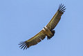 Griffon vulture a flying in eastern rhodope mountains bulgaria Royalty Free Stock Images