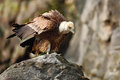 Griffon Vulture, Gyps fulvus, big birds of prey sitting on the stone, rock mountain, nature habitat, Spain Royalty Free Stock Photo