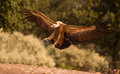 Griffon vulture a gyps fulvus landing on the ground with wide open wings Royalty Free Stock Photo