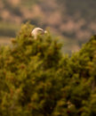 Griffon Vulture hiding behind bush Royalty Free Stock Photography