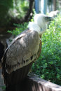 Griffon vulture in a portrait estremadura detailed Royalty Free Stock Photography