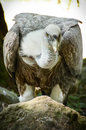 Griffon vulture resting on a rock Royalty Free Stock Images