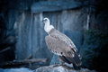 Griffon vulture sitting on the ledge of mountain Royalty Free Stock Photos