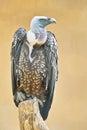 Griffon vulture specimen of gyps fulvus Stock Photos
