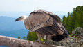 Griffon vulture  in wildness area Royalty Free Stock Photography