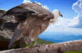 Griffon vulture in wildness gyps fulvus area Stock Photography