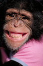 Grinning chimp Stock Images