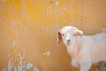 A grinning goat horizontal image of white that appears to be Stock Image