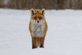 Grinning red fox stands on a snow covered field during winter Royalty Free Stock Images