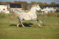 Grizlly welsh mountain pony stallion running on pasturage in autumn Stock Photo