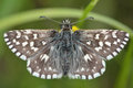 Grizzled skipper (Pyrgus malvae) butterfly Royalty Free Stock Photo