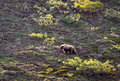 Grizzley bear foraging for food a north american subspecies of the brown is on a hillside in alaska looking berries Royalty Free Stock Photo