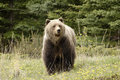 Grizzly bear, Stock Images