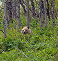 Grizzly Bear Checking In The Bushes Stock Image